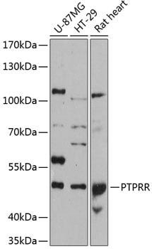 PCPTP1 Antibody in Western Blot (WB)