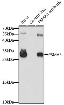PSMA3 Antibody in Immunoprecipitation (IP)