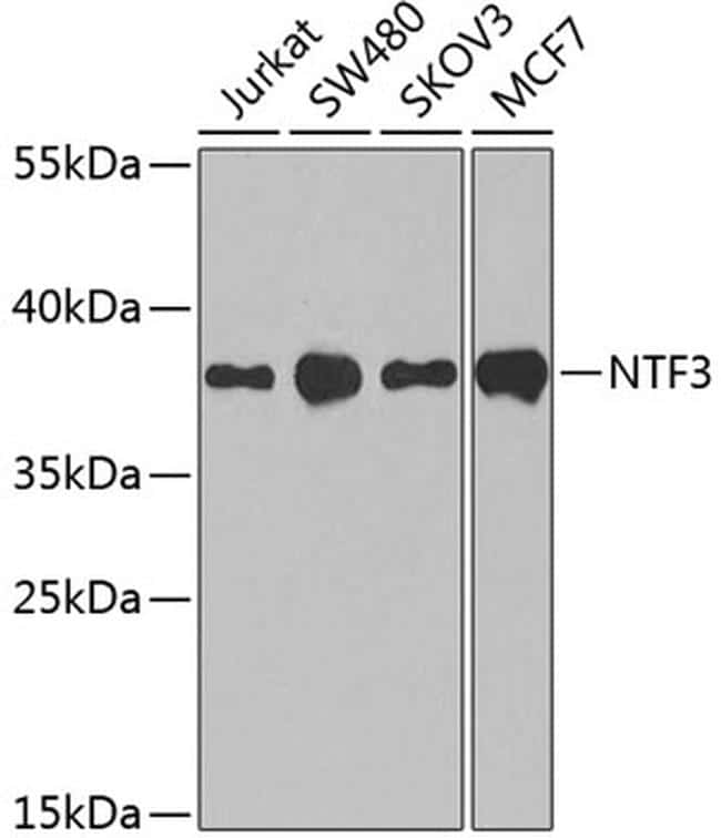 NTF3 Antibody in Western Blot (WB)