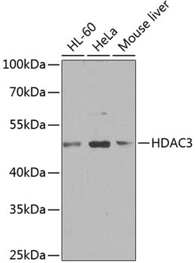HDAC3 Antibody in Western Blot (WB)