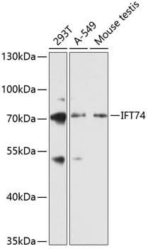 CMG1 Antibody in Western Blot (WB)