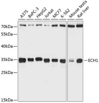ECH1 Antibody in Western Blot (WB)