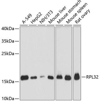 RPL32 Antibody in Western Blot (WB)