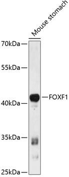 FOXF1 Antibody in Western Blot (WB)