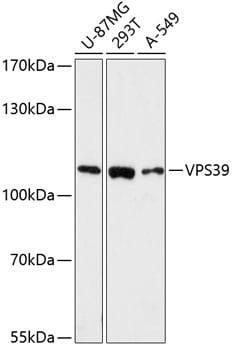 VPS39 Antibody in Western Blot (WB)