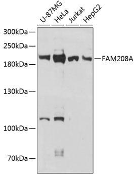 FAM208A Antibody in Western Blot (WB)