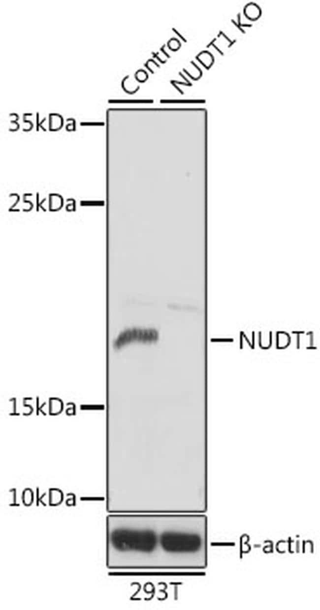 MTH1 Antibody in Western Blot (WB)