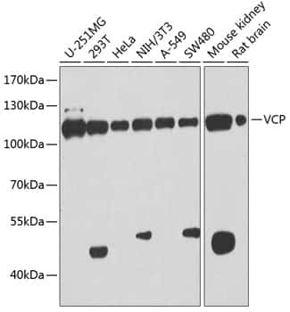 VCP Antibody in Western Blot (WB)
