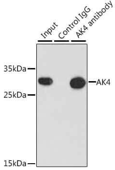 Adenylate Kinase 4 Antibody in Immunoprecipitation (IP)