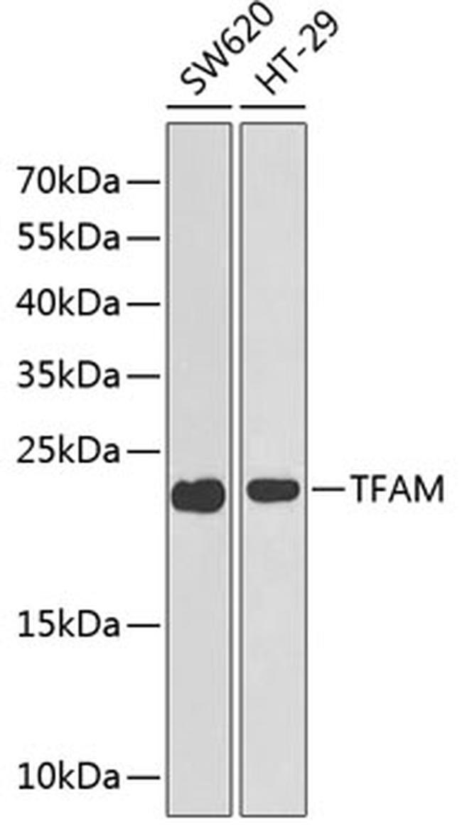 TFAM Antibody in Western Blot (WB)