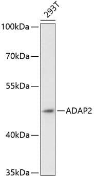 Centaurin alpha-2 Antibody in Western Blot (WB)
