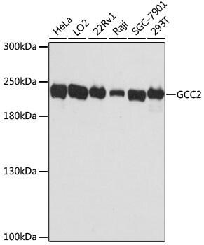 GCC2 Antibody in Western Blot (WB)