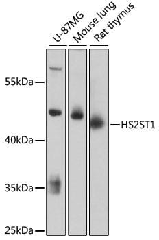 HS2ST1 Antibody in Western Blot (WB)