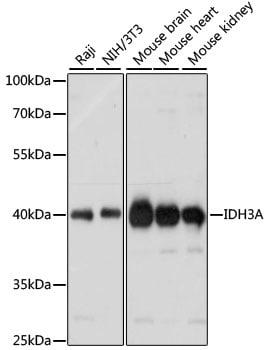 IDH3A Antibody in Western Blot (WB)
