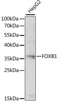 FOXB1 Antibody in Western Blot (WB)