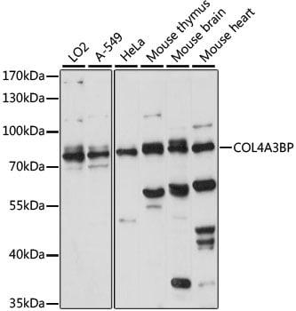 CERT Antibody in Western Blot (WB)