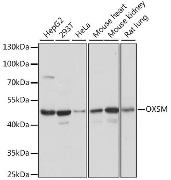 OXSM Antibody in Western Blot (WB)