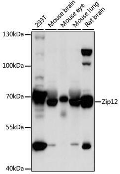ZIP12 Antibody in Western Blot (WB)