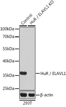 HuR Antibody in Knockout