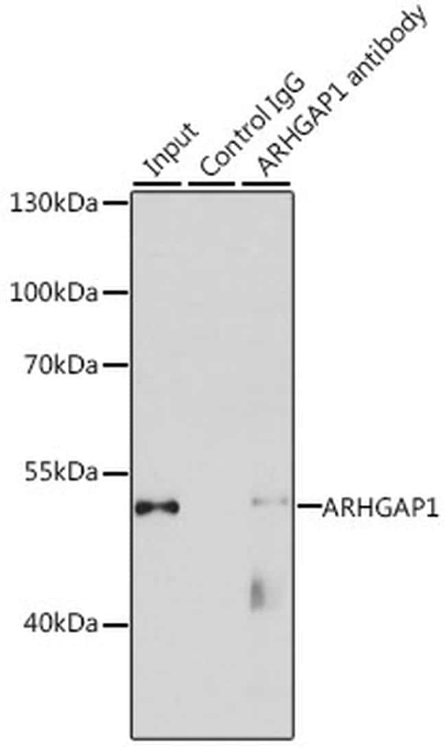 RhoGAP Antibody in Immunoprecipitation (IP)