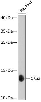 CKS2 Antibody in Western Blot (WB)