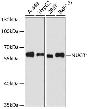 Nucleobindin 1 Antibody in Western Blot (WB)