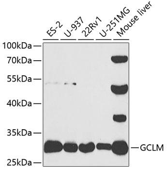 GCLM Antibody in Western Blot (WB)