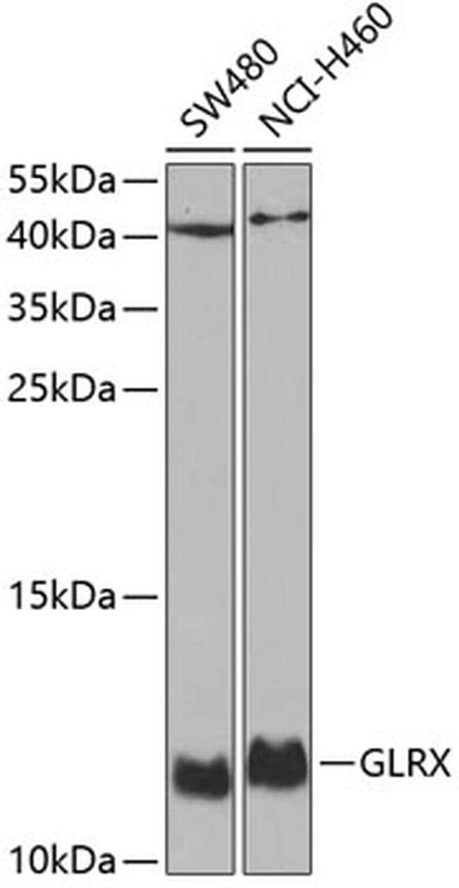 GLRX Antibody in Western Blot (WB)