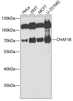 CAF1 p60 Antibody in Western Blot (WB)