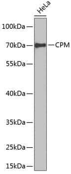Carboxypeptidase M Antibody in Western Blot (WB)