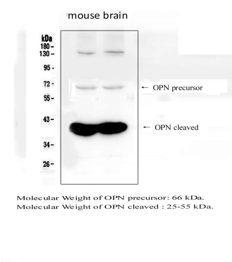 Osteopontin Antibody in Western Blot (WB)