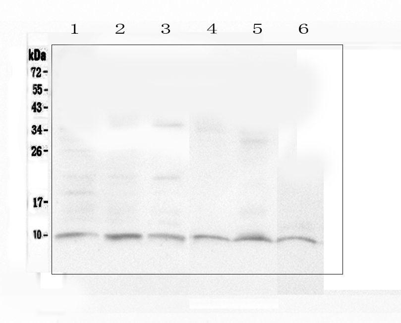 Ubiquitin B Antibody in Western Blot (WB)