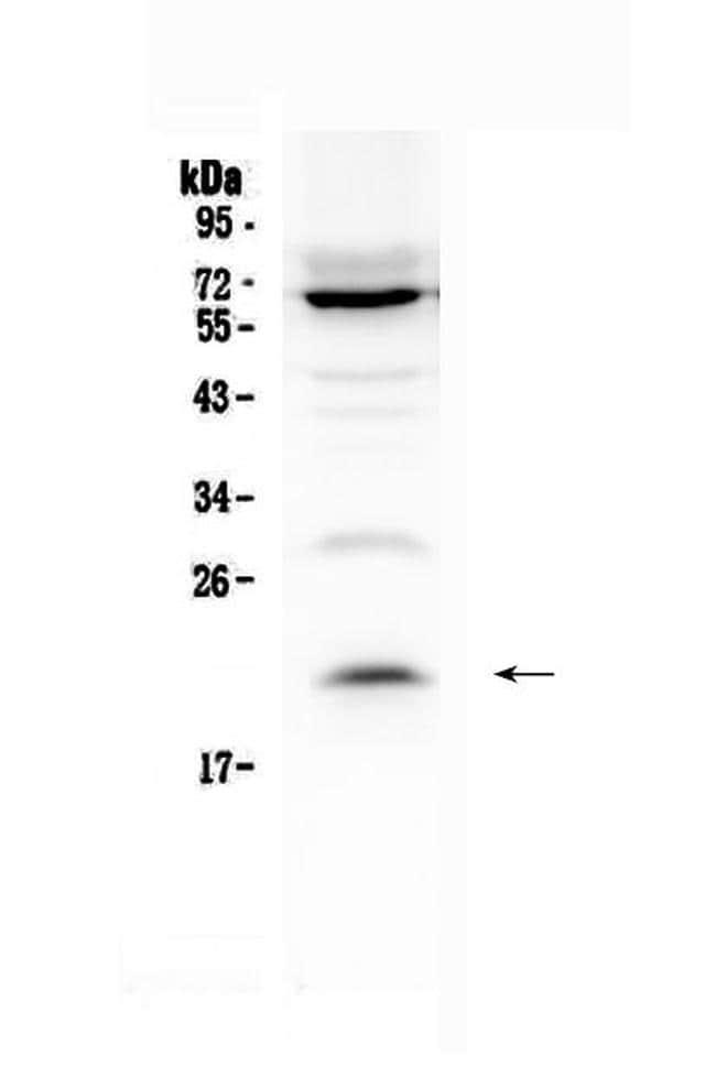 IL-13 Antibody in Western Blot (WB)