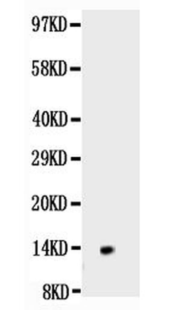 NGF Antibody in Western Blot (WB)