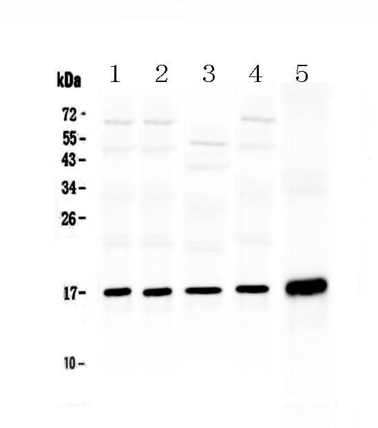 HSP20 Antibody in Western Blot (WB)