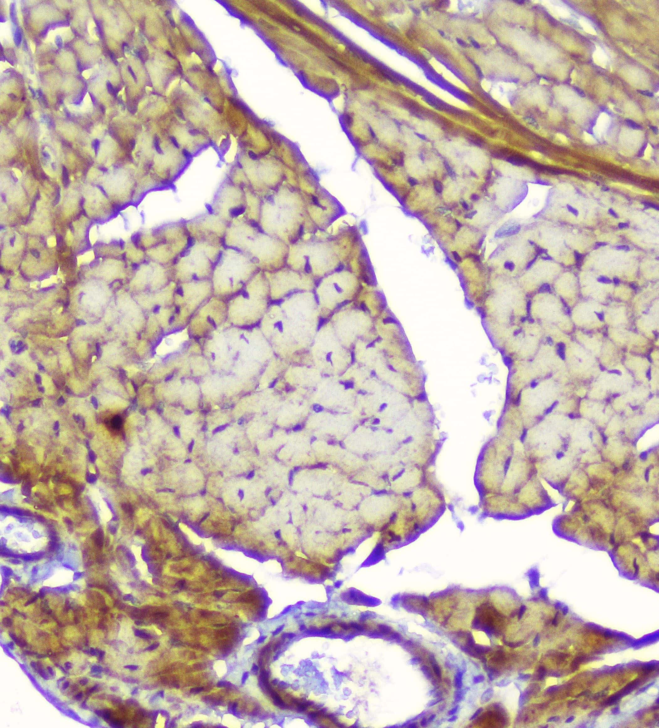 Creatine Kinase MM Antibody in Immunohistochemistry (Paraffin) (IHC (P))