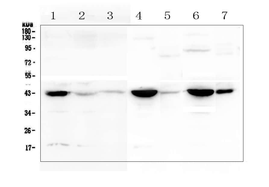 Creatine Kinase MM Antibody in Western Blot (WB)