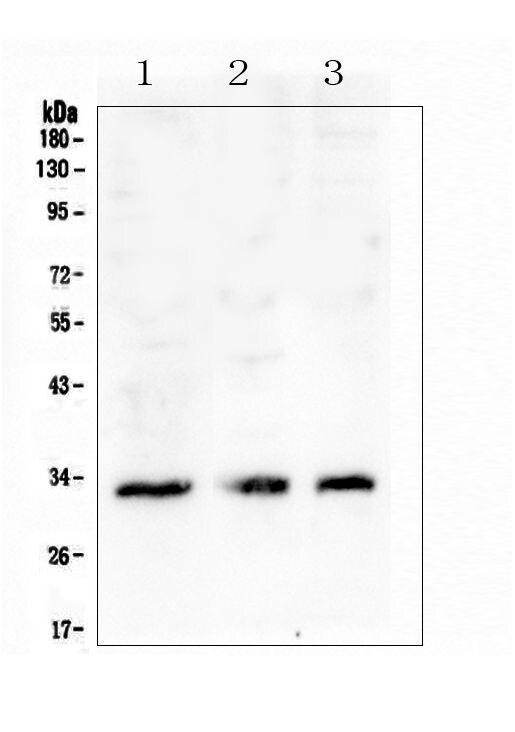 FCGR2A Antibody in Western Blot (WB)