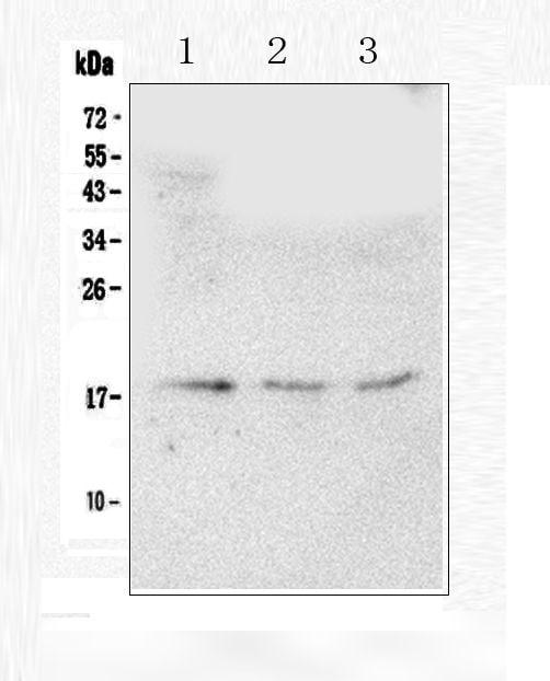 HMGN2 Antibody in Western Blot (WB)