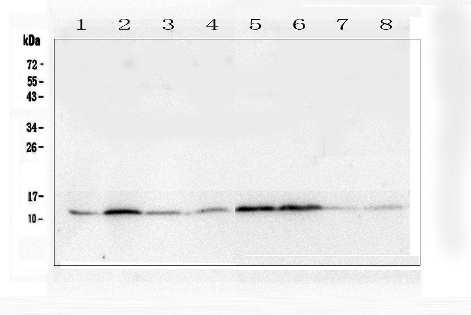 Thioredoxin 1 Antibody in Western Blot (WB)