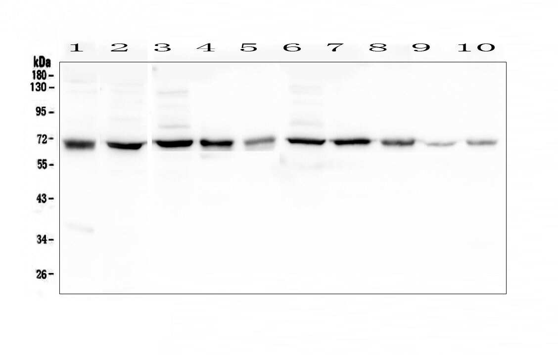 HAS1 Antibody in Western Blot (WB)