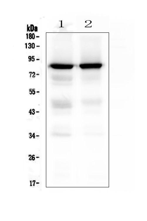 PKC gamma Antibody in Western Blot (WB)