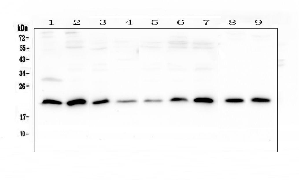 Sorcin Antibody in Western Blot (WB)