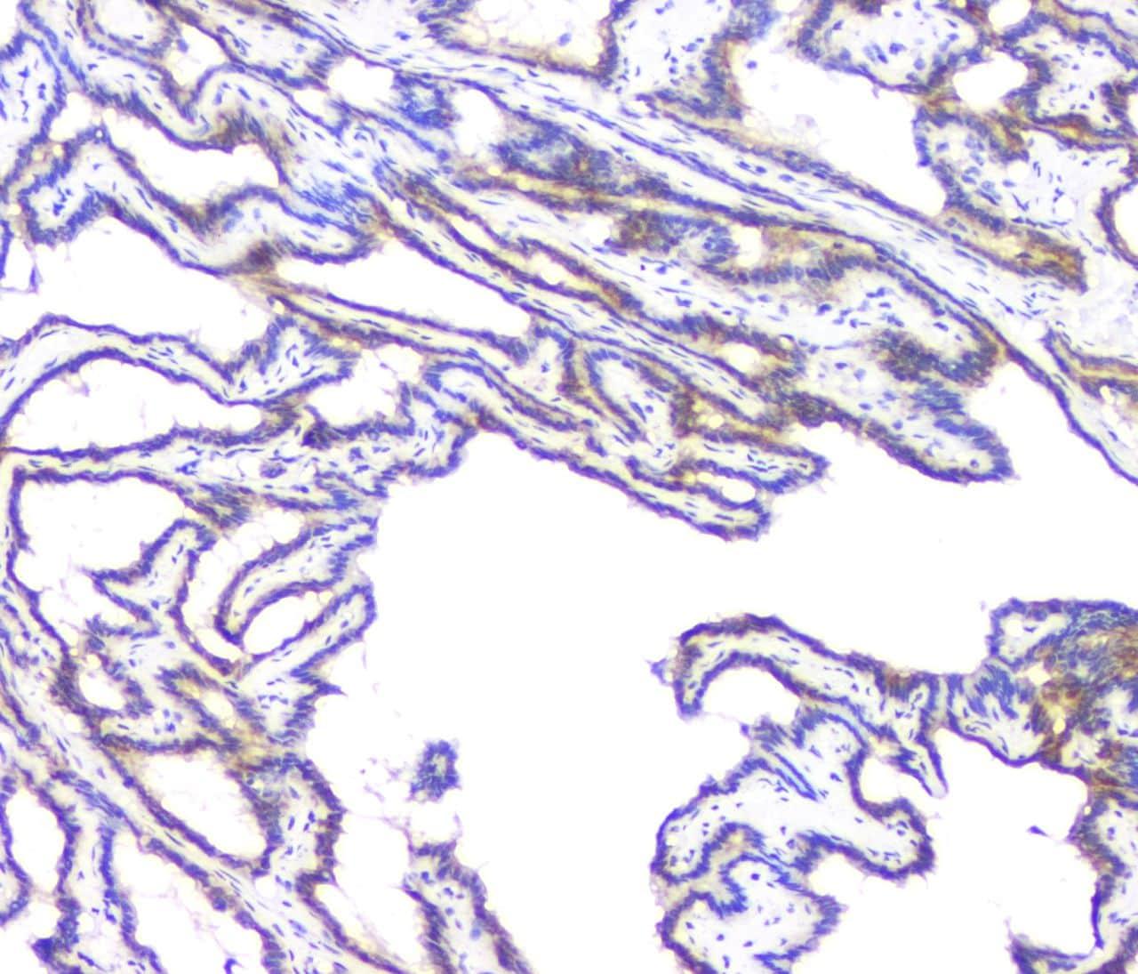 BAG6 Antibody in Immunohistochemistry (Paraffin) (IHC (P))