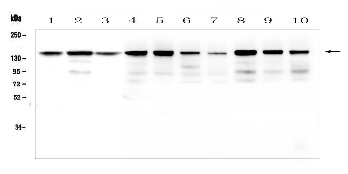 BAG6 Antibody in Western Blot (WB)