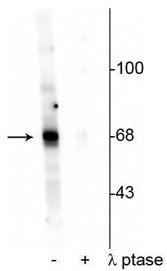 Phospho-AKT1 (Thr342) Antibody in Western Blot (WB)