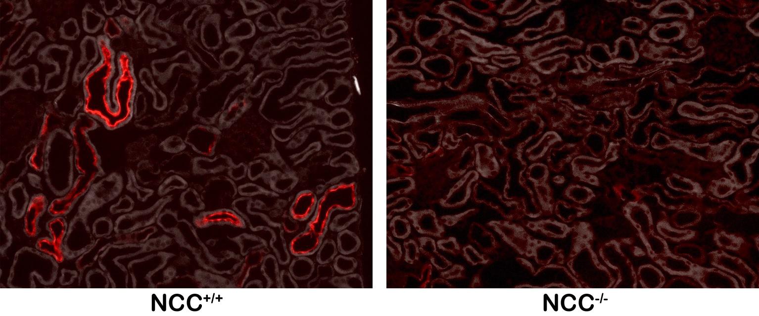 Phospho-SLC12A3 (Thr53) Antibody in Immunohistochemistry (Frozen) (IHC (F))