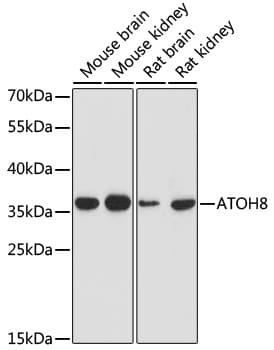 ATOH8 Antibody in Western Blot (WB)