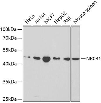 NR0B1 Antibody in Western Blot (WB)
