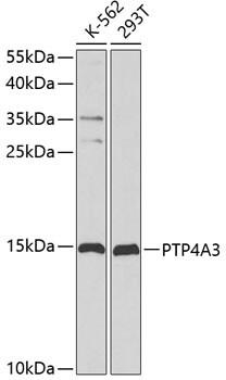 PRL3 Antibody in Western Blot (WB)